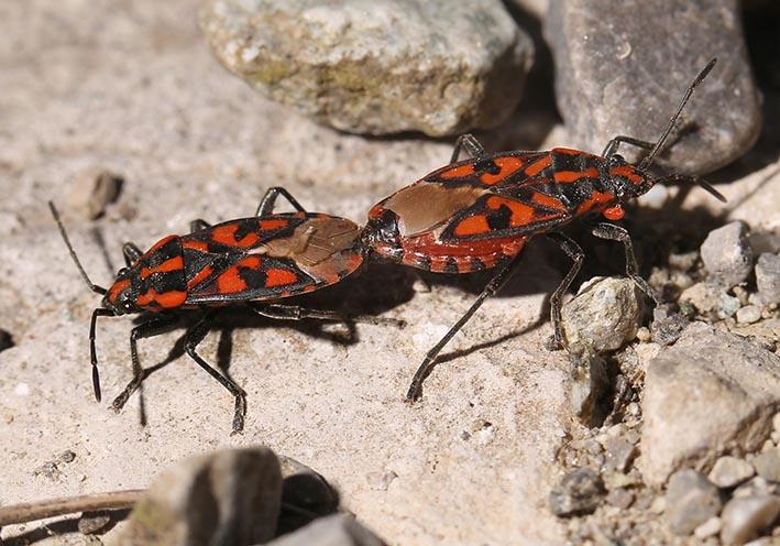 Lygaeus saxatilis - Knappe - Fam. Lygaeidae - Bodenwanzen - Heteroptera - Wanzen - true bugs