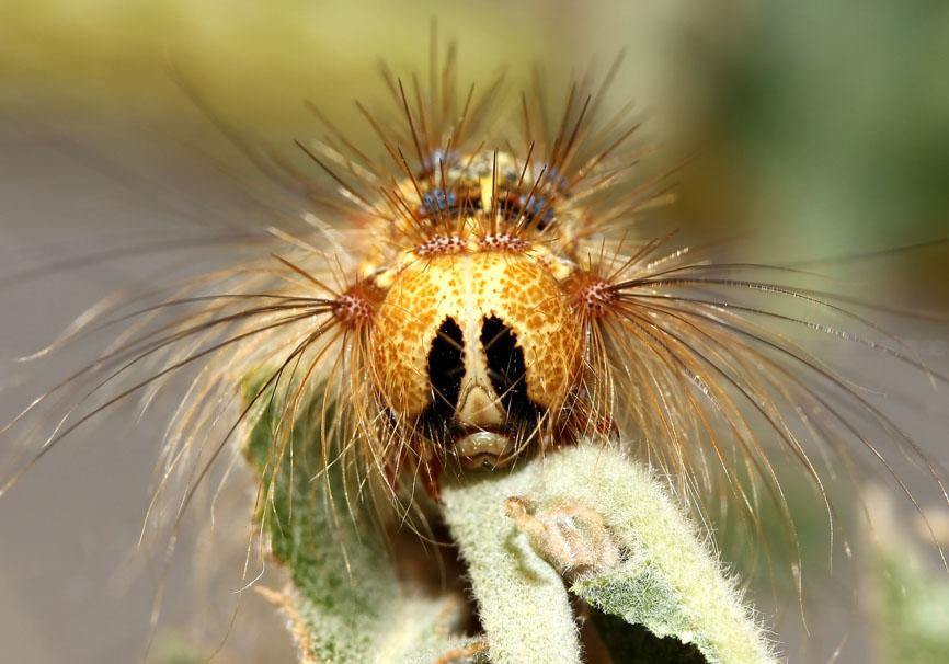 Lymantria dispar - Schwammspinner - Fam.  Erebidae/Lymantriinae   -   Lesbos - Raupen - Caterpillars