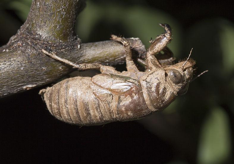 Lyristes plebejus - Metamorphosis 1 - Fam. Cicadidae  (Singzikaden) - Auchenorrhyncha - Zikaden - cicada