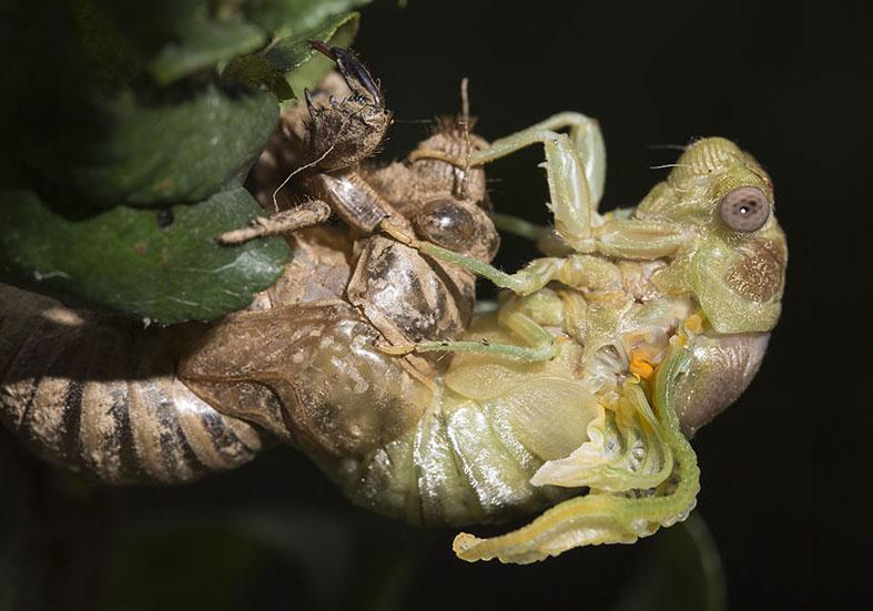 Lyristes plebejus - Metamorphosis 5 - Fam. Cicadidae  (Singzikaden) - Auchenorrhyncha - Zikaden - cicada