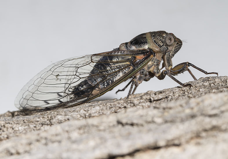 Lyristes plebejus - Metamorphosis 8 - Fam. Cicadidae  (Singzikaden)   -   Zagori (Griechenland) - Auchenorrhyncha - Zikaden - cicada