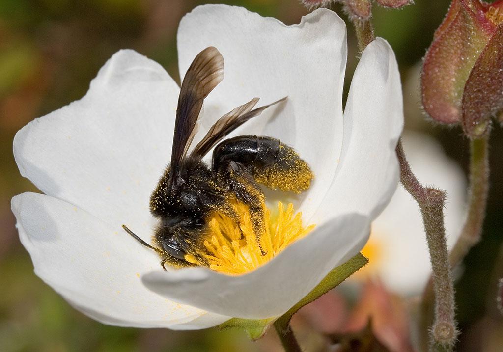 Megachile parietina  -  Mörtelbiene - Lefkas - Apidae - Bienen - bees