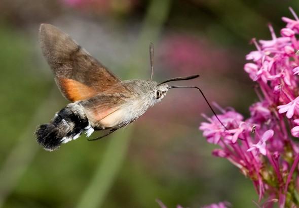 Macroglossum  stellatarum - Taubenschwänzchen -  - Sphingidae - Schwärmer - hawk moths