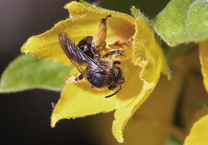 Macropis fulvipes -  - Apidae - diverse - Bienen - bees