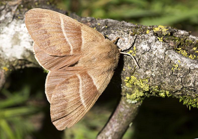 Macrothylacia rubi - Brombeerspinner -  - Lasiocampidae - Glucken - lappet moths