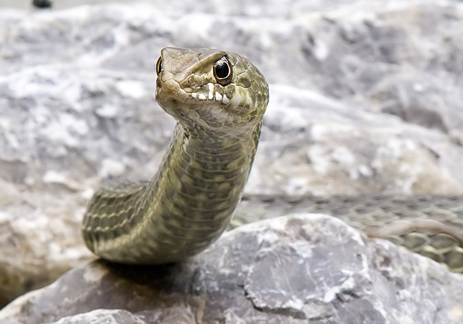 Malpolon monspessulanus - Eidechsennatter - Alpenzoo - Serpentes - Schlangen - snakes
