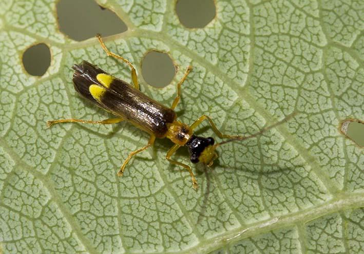 Malthinus flaveolus - Gelblicher Fliegenkäfer -  - Cantharidae - Weichkäfer