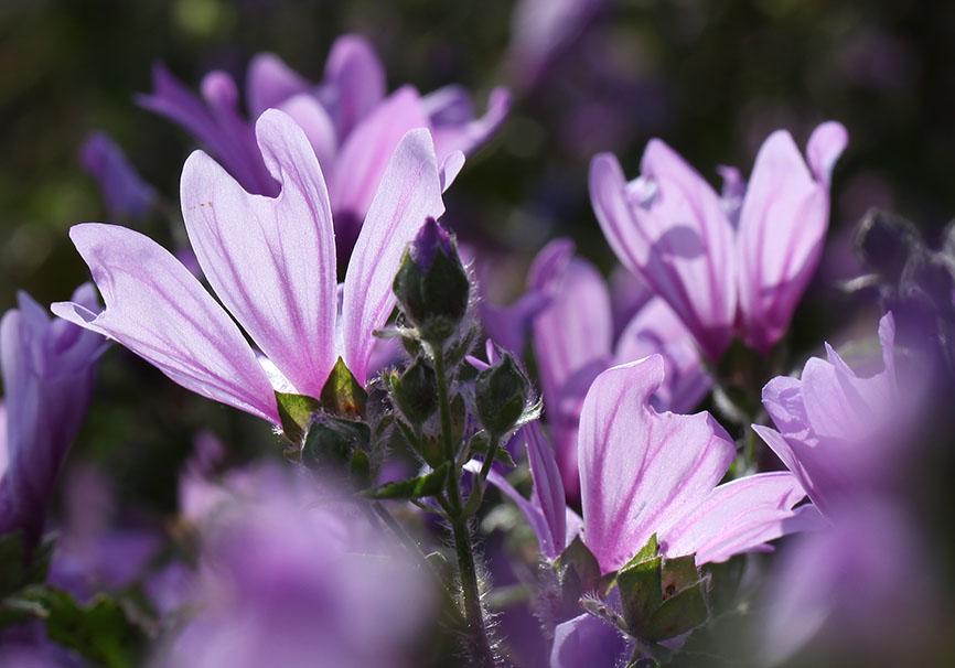 Malva sylvestris -  - Blüten - Flowers