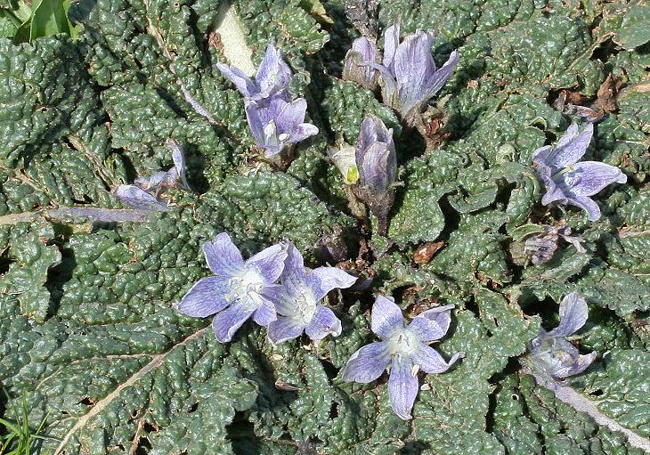 Mandragora autumnalis - Herbstalraune - mandrake -  - Ruderal vegetation
