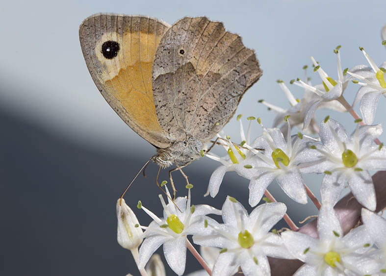Maniola halicarnassus  - Nisyros - Nymphalidae - Edelfalter - brush-footed butterflies
