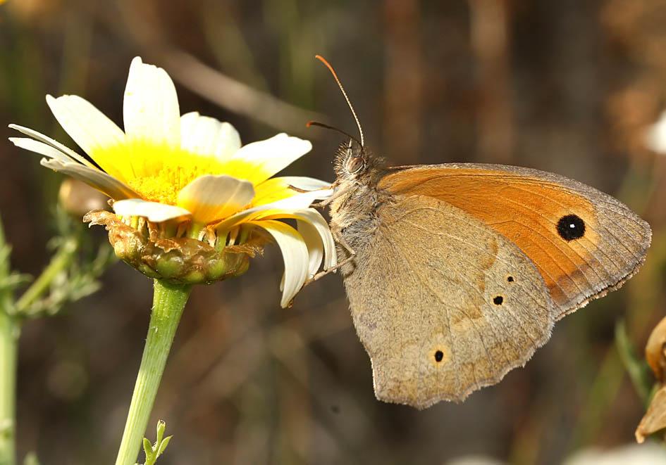 Maniola jurtina - Großes Ochensauge - Milos - Nymphalidae - Edelfalter - brush-footed butterflies