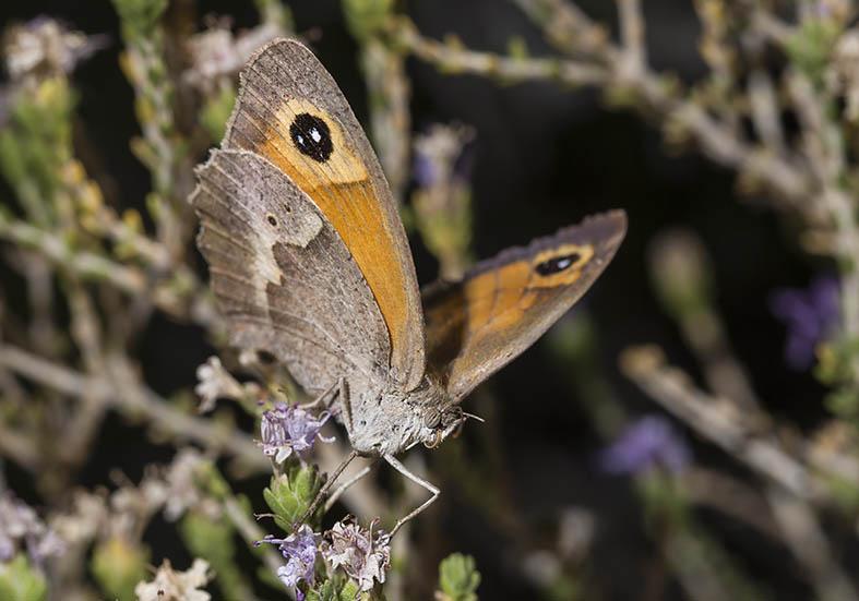 Maniola telmessia  - Tilos - Nymphalidae - Edelfalter - brush-footed butterflies