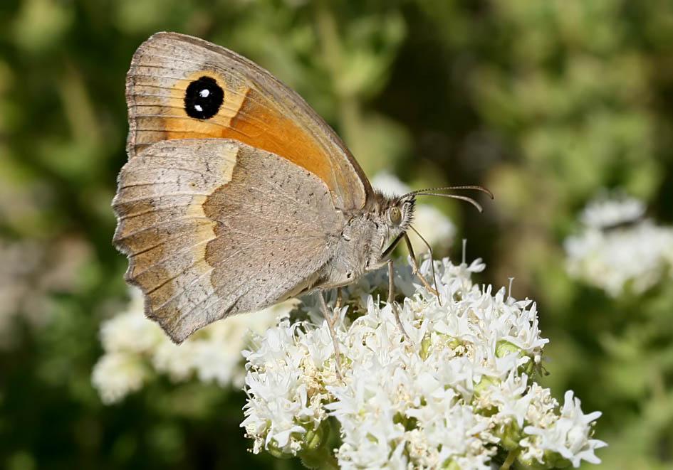 Manolia telmessia - Tilos - Nymphalidae - Edelfalter - brush-footed butterflies