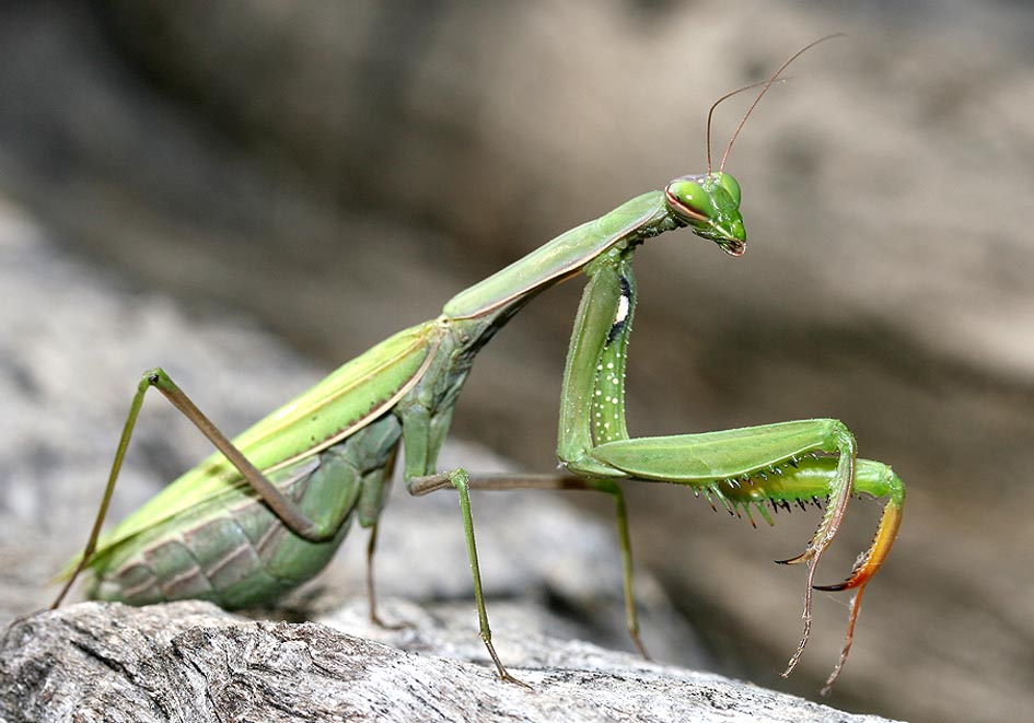 Mantis religiosa -  - Mantodea - Fangschrecken - praying mantises
