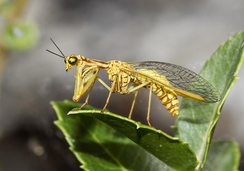 Mantispa aphavexelte  - Zagori (Griechenland) - Neuroptera - Netzflügler - net-winged insects