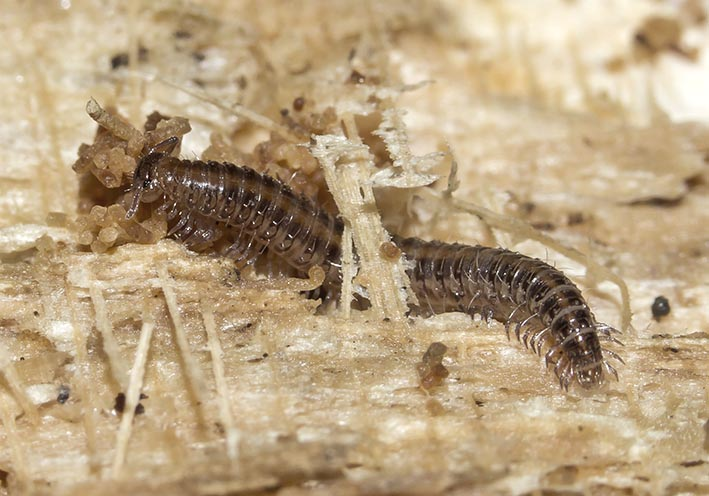 Mastigona mutabilis  - Fam.  Mastigophorophyllidae - Diplopoda - Doppelfüßer - millipeds