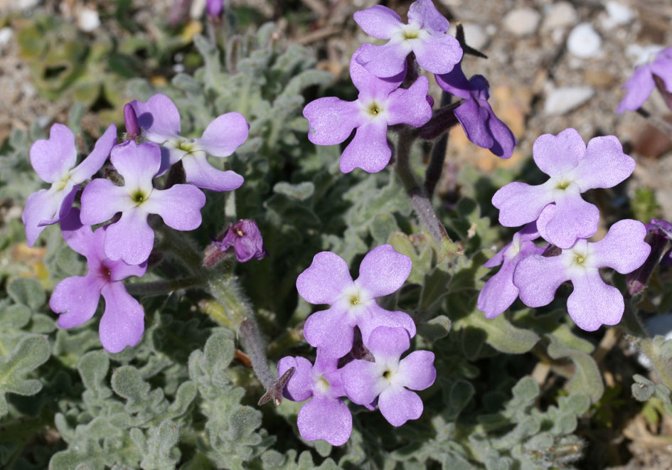 Matthiola tricuspidata - Dreihörnige Levkoje -  - Saline Lebensräume - saline environments
