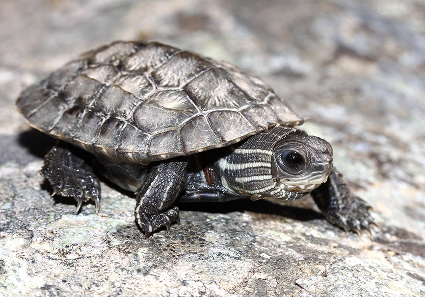Mauremys rivulata (juv.)  - Ostmediterrane Bachschildkröte - Andros - Chelonii - Schildkröten - turtles, tortoises