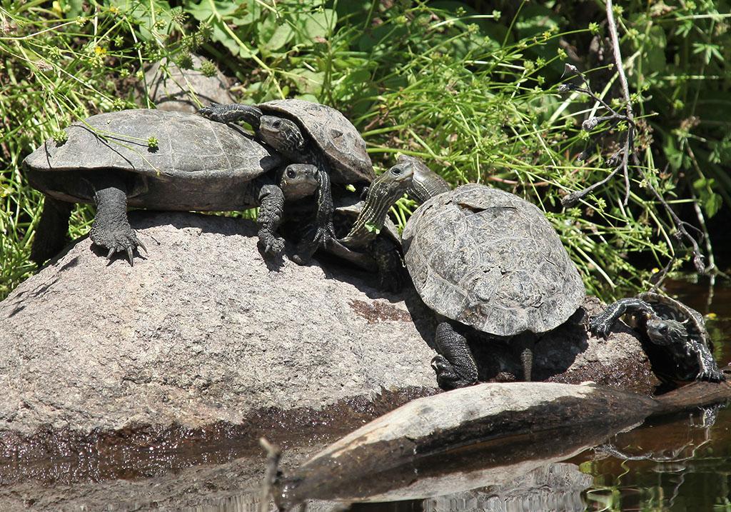 Mauremys rivulata - Kaspische Bachschildkröte - Lesbos - Chelonii - Schildkröten - turtles, tortoises