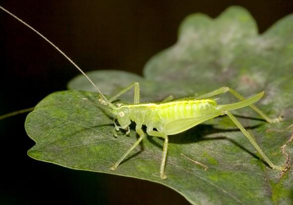 Meconema meridionale - Südliche Eichenschrecke - Fam. Meconematidae - Eichenschrecken - Weitere Geradflügler - other orthopters