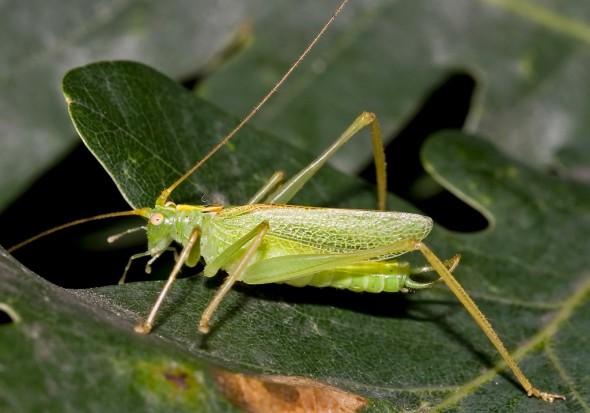 Meconema-thalassium - Gemeine Eichenschrecke - Fam. Meconematidae - Eichenschrecken - Weitere Geradflügler - other orthopters