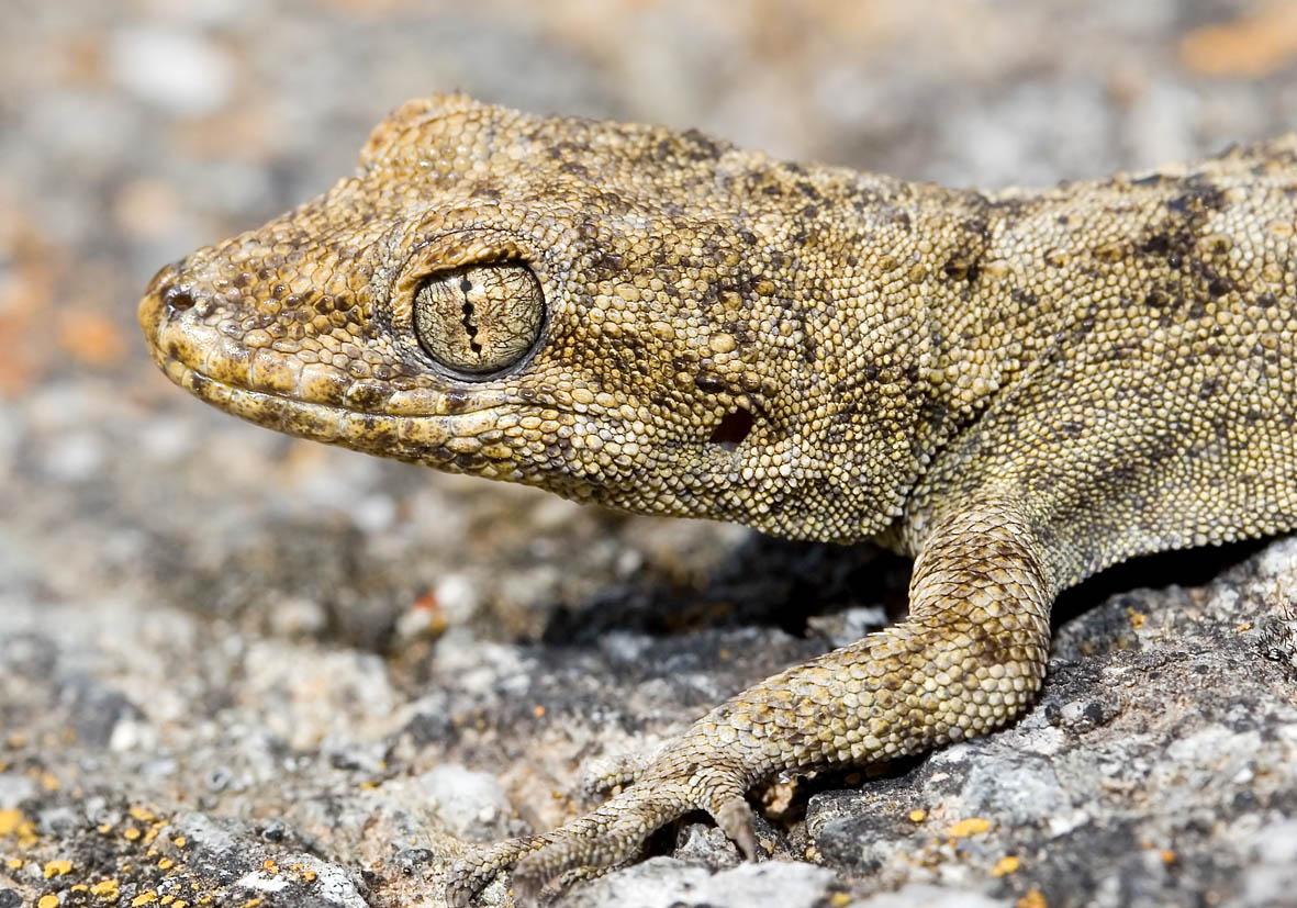 Mediodactylus kotschyi - Ägäischer Nacktfinger - Amorgos - Lacertilia - Echsen - lizards