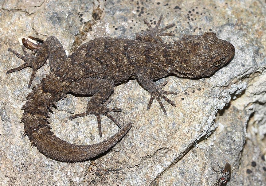 Mediodactylus kotschyi - Nacktfinger - Lesbos - Lacertilia - Echsen - lizards