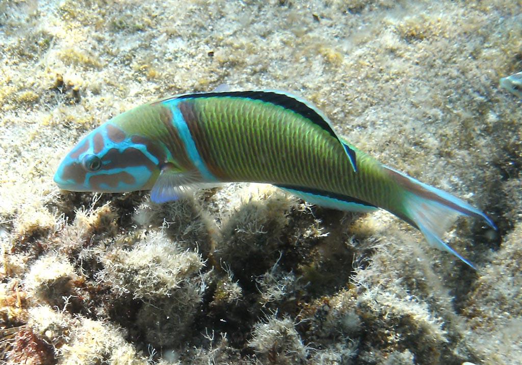 Thalassoma pavo - Meerpfau (Männchen) -  - Pisces - Fische - fish