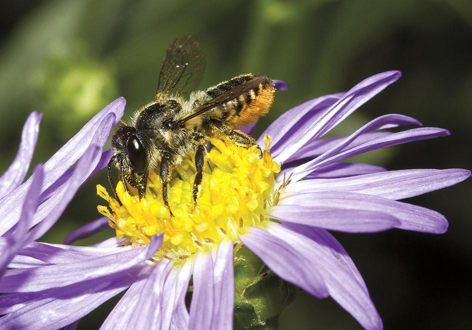 Megachile  centuncularis - Blattschneiderbiene -  Aster amellus - Apidae - Megachilinae - Bienen - bees