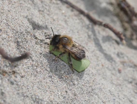 Megachile circumcincta - Zottige Blattschneiderbiene -  - Apiformes - Megachilidae - Bienen - bees