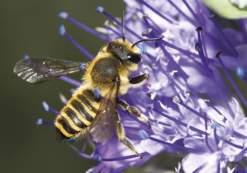 Megachile melanopyga  - Blattschneiderbiene -  - Apidae - Megachilinae - Bienen - bees