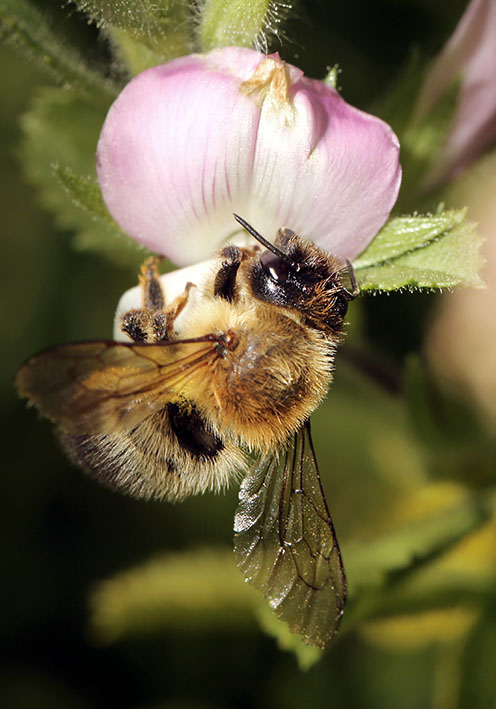 Megachile nigriventris - Schwarzbürstige Battschneiderbiene -  - Apidae - Megachilinae - Bienen - bees