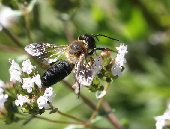 Megachile sculpturales - Asiatische Mörtelbiene -  - Apiformes - Megachilidae - Bienen - bees