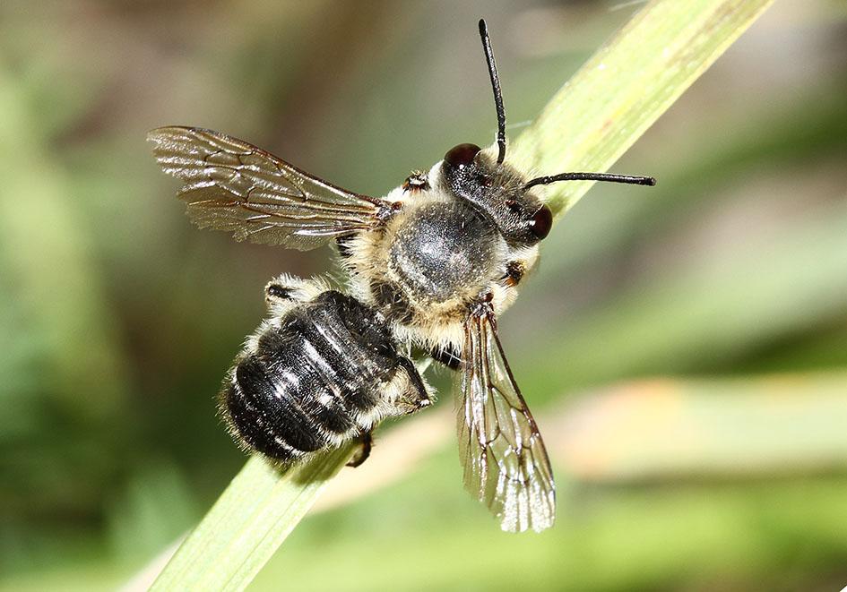 Megachile willughbiella - Totholz-Blattschneiderbiene -  - Apidae - Megachilinae - Bienen - bees