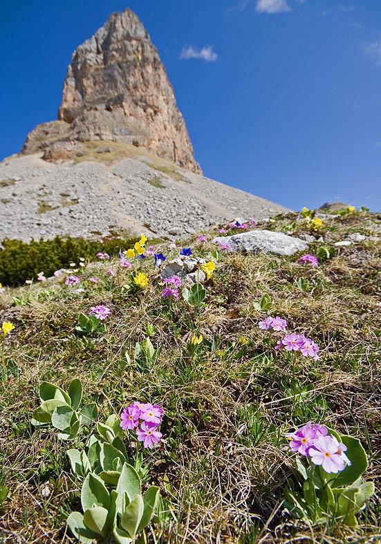Primula farinosa - Mehlprimel - Fam. Primulaceae - Alpine Rasen - alpine grassland