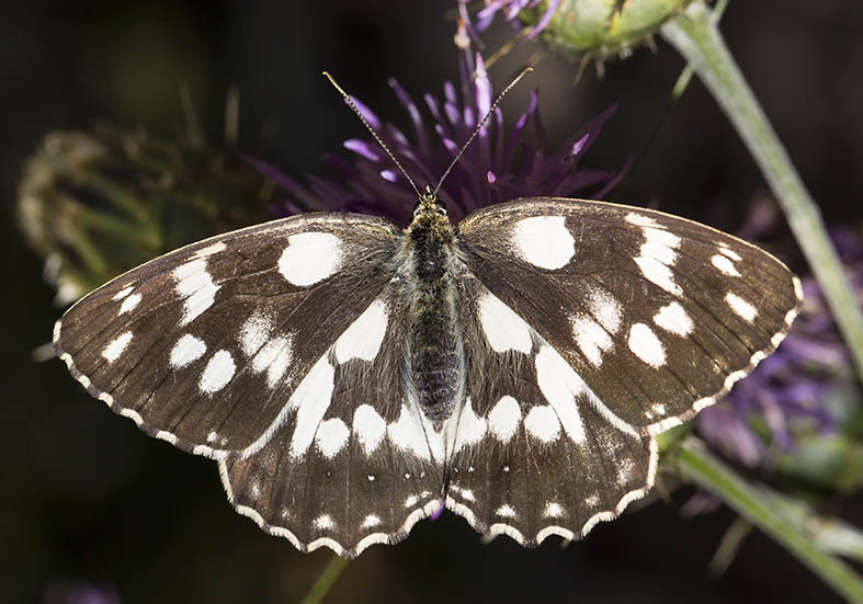 Melanargia galathea  - Schachbrett  - Zagori (Griechenland) - Nymphalidae - Edelfalter - brush-footed butterflies