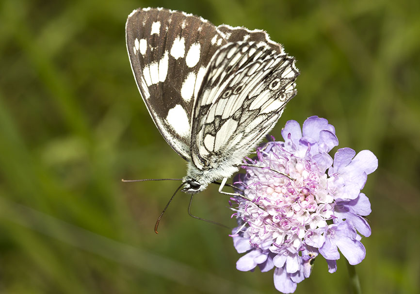 Melanargia galathea - Schachbrett -  - Nymphalidae - Edelfalter - brush-footed butterflies