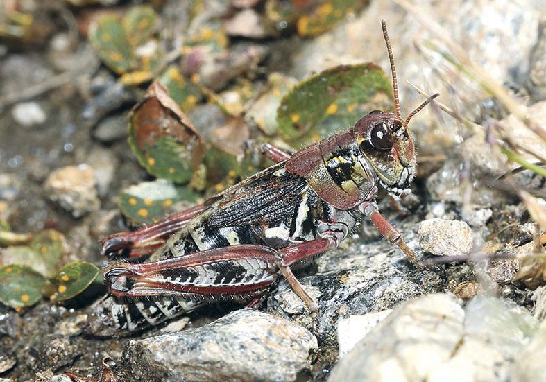 Melanoplus frigidus - Nordische Gebirgsschrecke -  - Acrididae - Feldheuschrecken - grasshoppers