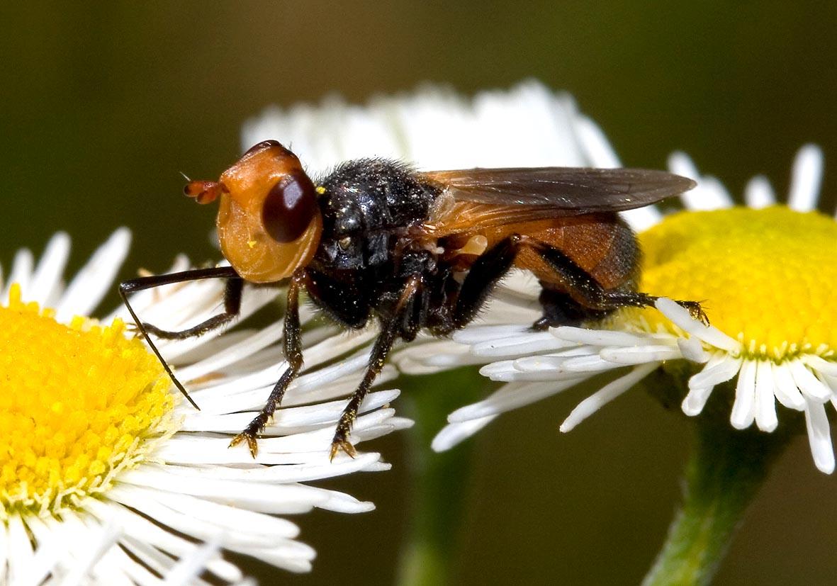Melanosoma bicolor - Fam. Conopidae - Dickkopffliegen - Brachycera (Fliegenartige) - Aschiza
