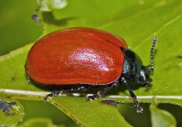Melasoma populi - Pappelblattkäfer -  - Chrysomelidae - Blattkäfer - leaf beetles