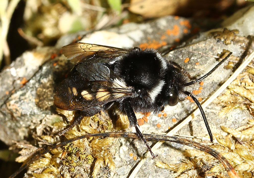 Melecta sp. - Trauerbiene  - Andros - Apidae - Bienen - bees