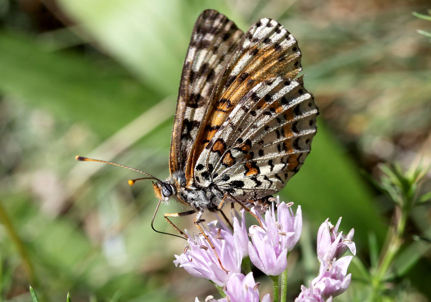 Melitaea didyma - Roter Scheckenfalter - Weibchen - Nymphalidae - Edelfalter - brush-footed butterflies