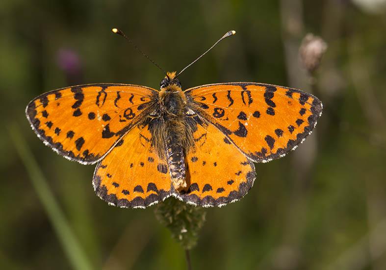 Melitaea didyma - Roter Scheckenfalter - Zagori (Griechenland) - Nymphalidae - Edelfalter - brush-footed butterflies