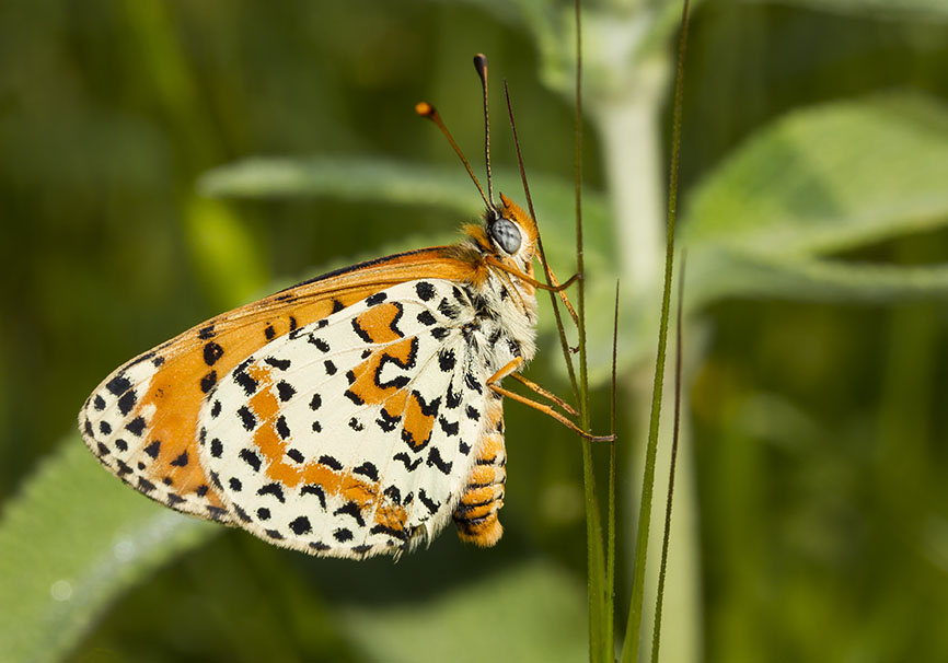 Melitaea didyma - Roter Scheckenfalter - Epiros - Nymphalidae - Edelfalter - brush-footed butterflies