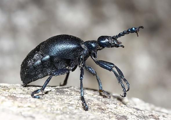 Meloe proscarabaeus - Schwarzblauer Ölkäfer - Schreckstellung - Melonidae - Ölkäfer - Blister beetles