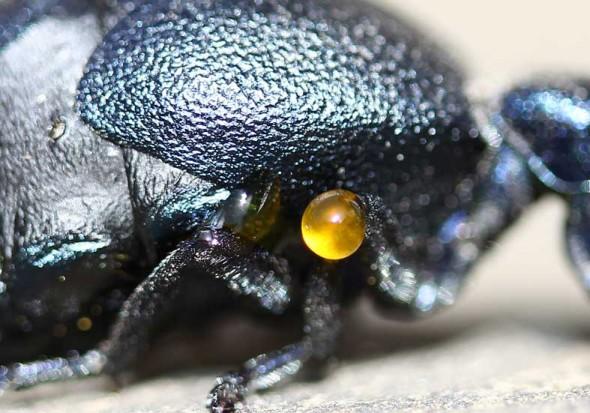 Meloe proscarabaeus - Schwarzblauer Ölkäfer - Zur Abwehr tritt aus dem Beingelenk Lymphe aus, die das hochgiftige Cantharidin enthält - Melonidae - Ölkäfer - Blister beetles