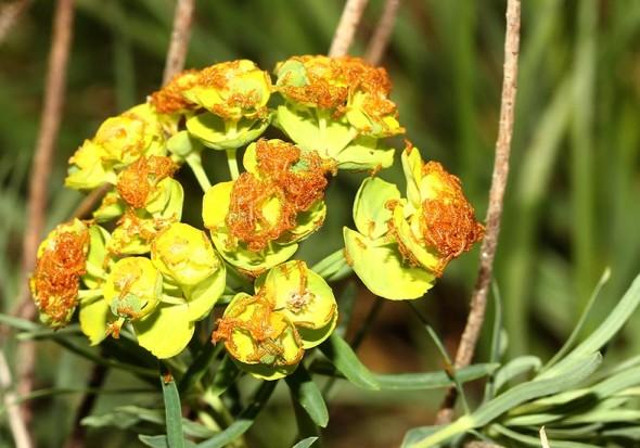Meloe proscarabaeus - Schwarzblauer Ölkäfer - Larven - Larven - Melonidae - Ölkäfer - Blister beetles
