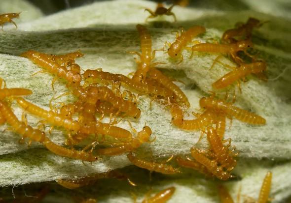 Meloe proscarabaeus - Schwarzblauer Ölkäfer - Larven -  - Melonidae - Ölkäfer - Blister beetles