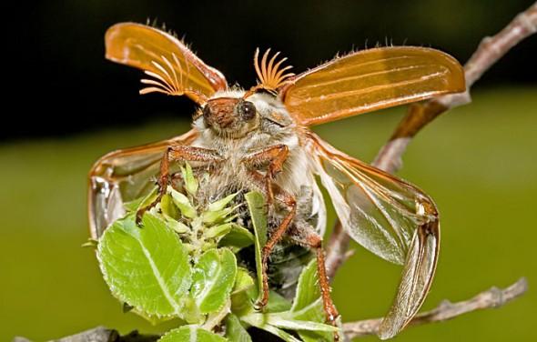 Melolontha melolontha - Feldmaikäfer - Fam. Melolonthidae - Scarabaeoidea - Blatthornkäfer - scarab beetles