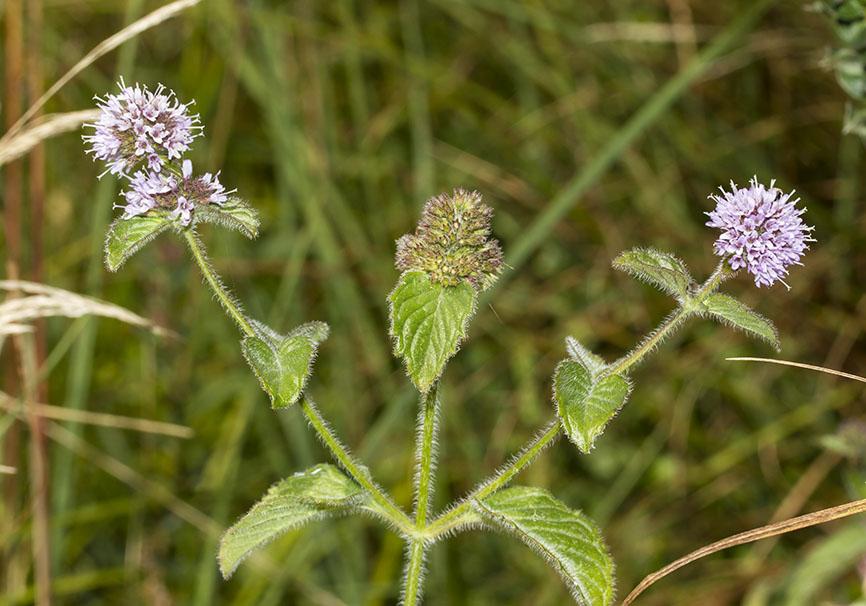 Mentha aquaica – Wasserminze - Fam. Lamiaceae - Feuchtgebiete - wetlands